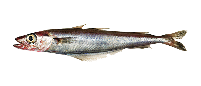 bluewhiting